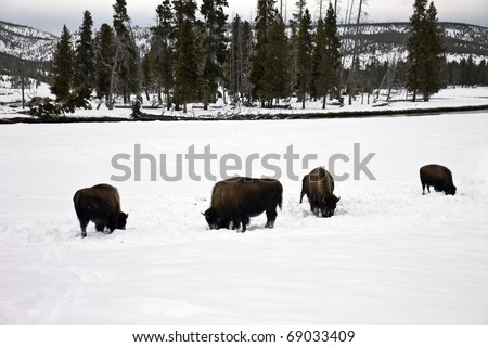 Bison found in Yellowstone National Park in the winter.