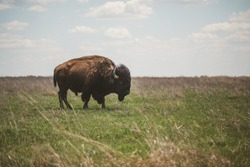Bison grazing at the Tallgrass Prairie Reserve in Oklahoma