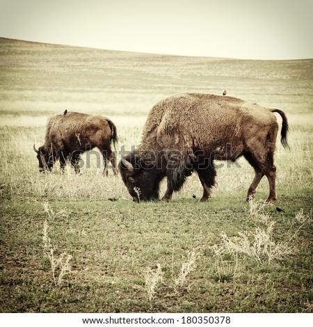 bison grazing. processed to...
