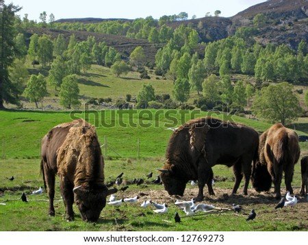 Bison Herd - also with an Optical Illusion of a man's face on one of the hides
