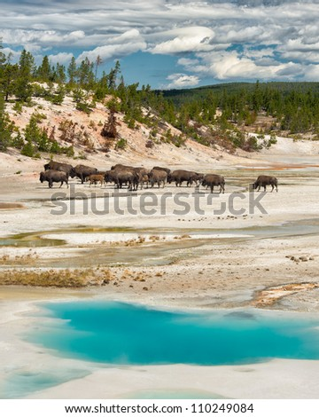 Bison herd behind the Colloidal Pool at the Norris Geyser Basin in Yellowstone National Park, Wyoming