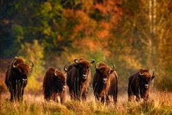 Bison herd in the autumn forest, sunny scene with big brown animal in the nature habitat, yellow leaves on the trees, Bialowieza NP, Poland. Wildlife scene from nature. Big brown European bison.