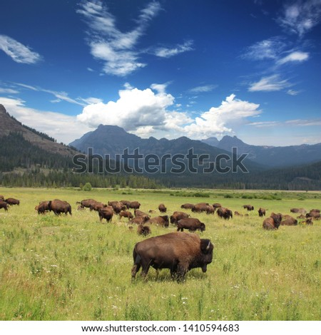 Bison Herd in the Yellowstone National Park