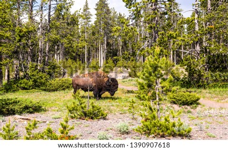 Bison in forest landscape view. Bison in nature background. Bison in forrest. Bison silhouette view