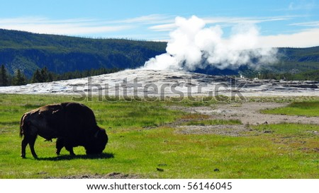 Bison in front of a steaming Old Faithful, Yellowstone National Park