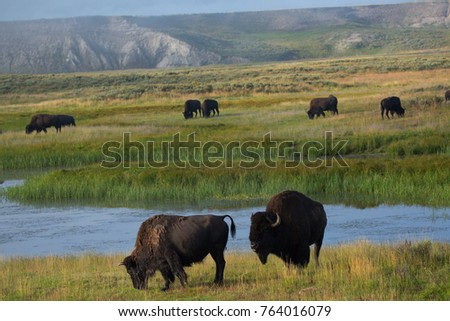 bison in grasslands of Yellowstone National Park in Wyoming in the United States of America #764016079