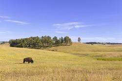 Bison in the Grasslands, Wind Cave National Park, South Dakota, USA