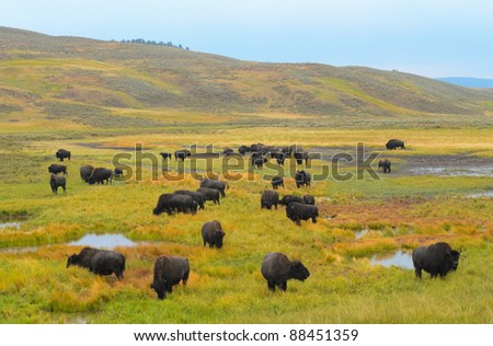 Bison in the Hayden Valley of Yellowstone National Park