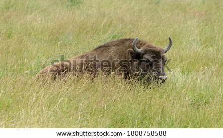 Bison in the wild. Bison eat green grass in the meadow. Bison lie in the grass. Artiodactyl ruminant. Large animal with long hair. Belarus