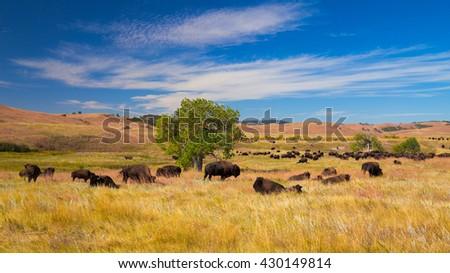 Bison on grasslands, Custer State Park, South Dakota, USA
