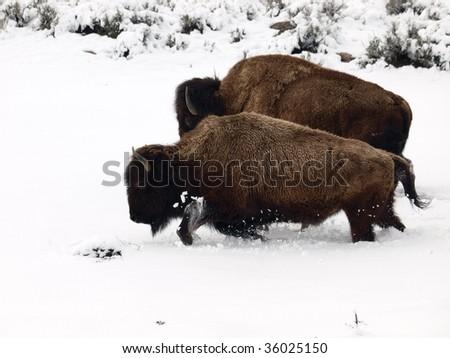 Bison on snow - stock photo