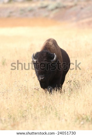 Bison on Yellowstone River, Yellowstone National Park