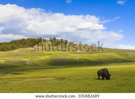 Bison out in the field at Yellowstone National Park