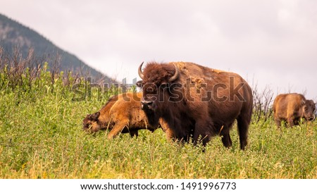 Bison Paddock at Waterton Lakes National Park, Alberta, Canada