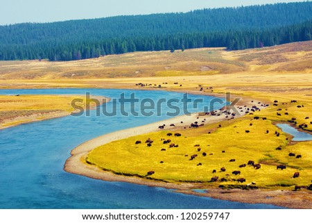 Bison paradise in Yellowstone National Park
