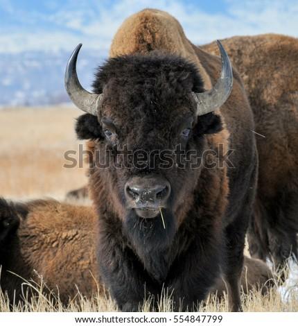 Bison Stance