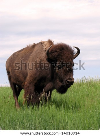 Bison standing alone on the American West Prairie in western South Dakota