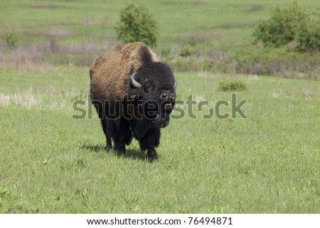 bison standing in the field