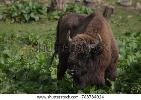 Bison, Wildlife Refuge, Poland Bieszczady Mountains  #768784024