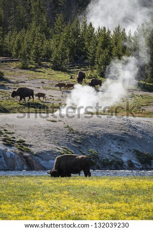 Bisons in Yellowstone National Park, Wyoming, United States