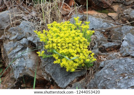 Biting stonecrop or Sedum acre or Goldmoss stonecrop or Mossy stonecrop or Goldmoss sedum or Wallpepper perennial flowering plant with bright yellow starry flowers growing between massive rocks