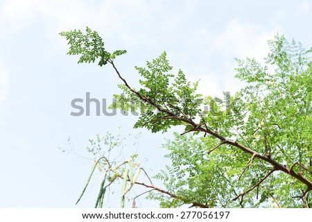 Bitter cucumber-chinese (Moringa oleifera Lam.) Foto stock ©
