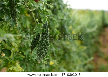 Bitter Gourd hanging in plant. Bitter Gourd Farm. Vegetable farm. Agriculture. Foto stock ©