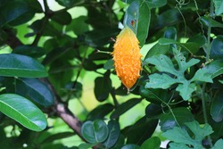 Bitter Gourd hanging in plant. Bitter Gourd Farm. Vegetable farm. Agriculture ripe yellow fruit