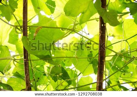 Bitter gourd plants in a farm #1292708038