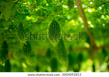 Bitter melon, Bitter gourd or Bitter squash hanging plants in a farm.