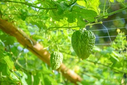 Bitter melon is a plant that has a bitter taste and medicinal properties.