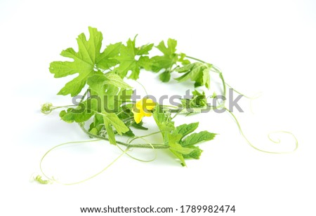 Bitter melon or bitter gourd leaves isolated on white background
