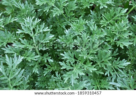Bitter wormwood (Artemisia absinthium) bush grows in the wild
