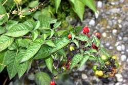 Bittersweet nightshade, Bitter nightshade, Solanum dulcamara, perennial vine with arrow shaped leaves often lobed at base, purple flowers in clusters with yellow anthers and ovoid red poisonous berry.