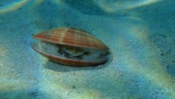 Bivalve mollusc smooth clam (Callista chione) undersea, Aegean Sea, Greece, Halkidiki
