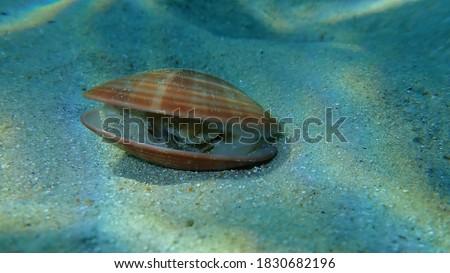 Bivalve mollusc smooth clam (Callista chione) undersea, Aegean Sea, Greece, Halkidiki Foto stock ©