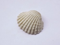 Bivalves seashells are often the most common seashells that wash up on large sandy beaches or in sheltered lagoons. They can sometimes be extremely numerous. Very often the two valves become separated