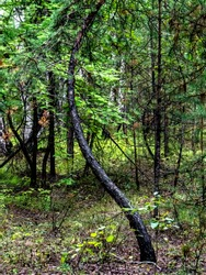 bizarrely curved trunk of a young pine tree in a mixed forest