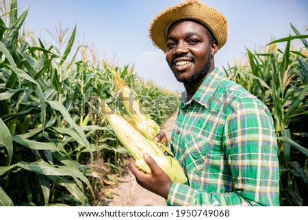 Black Africa American harvesting and peeling corn in corn field. He's fresh smile and happiness in the evening. Corn products are used to produce food for humans and animals. Agriculture in evening.