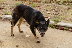 Black aggressive dog-male, that poses a danger to passers-by. The hungry life of a stray dog. Contact of the animal world with the human world.