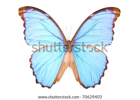 Black and blue butterfly Morpho didius isolated on white background