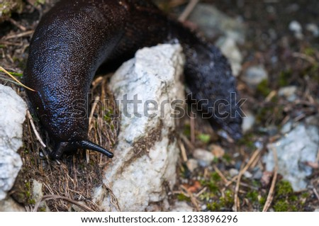 Black and blue slug, Limax cinereoniger. The largest terrestrial slug.