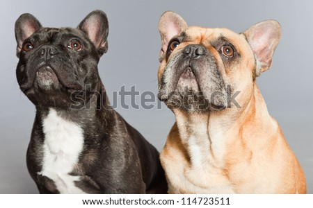 Black and brown french bulldogs together. Funny dogs. Comic characters. Romantic couple. Studio shot isolated on grey background.