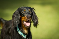 Black and brown Gordon Setter dog.