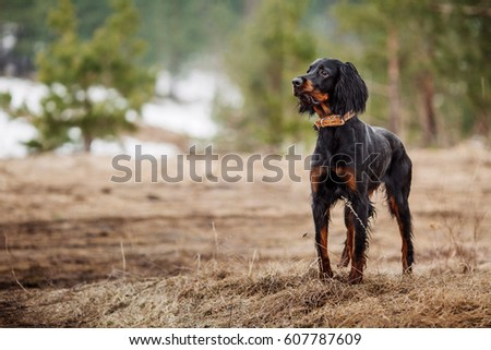Black and brown Gordon Setter dog. #607787609