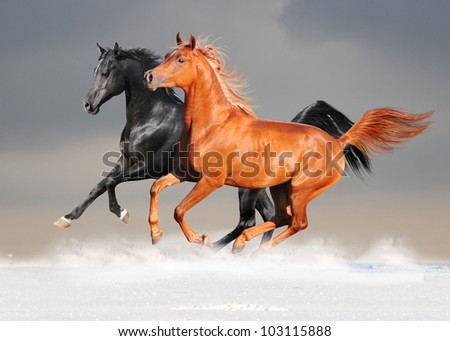 black and chestnut arab horses in the snow