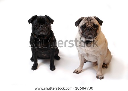Black and Fawn colored Pugs posing for the camera on a white background focus on beige dog's face