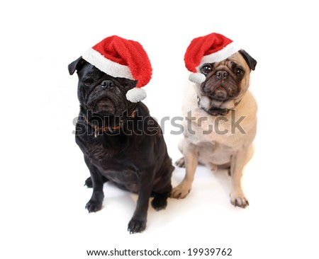 Black and Fawn colored Pugs with christmas santa claus hats   on a white background, focus on black dog's face - stock photo