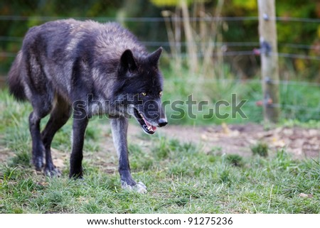 Black and gray wolf prowling with soft focus fence in background