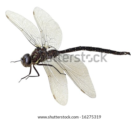 Black And White Dragonfly. stock photo : Black and green